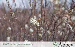 Meet the Amelancier – Apple Service Berry – A beautiful, low maintenance tree great for residential landscapes