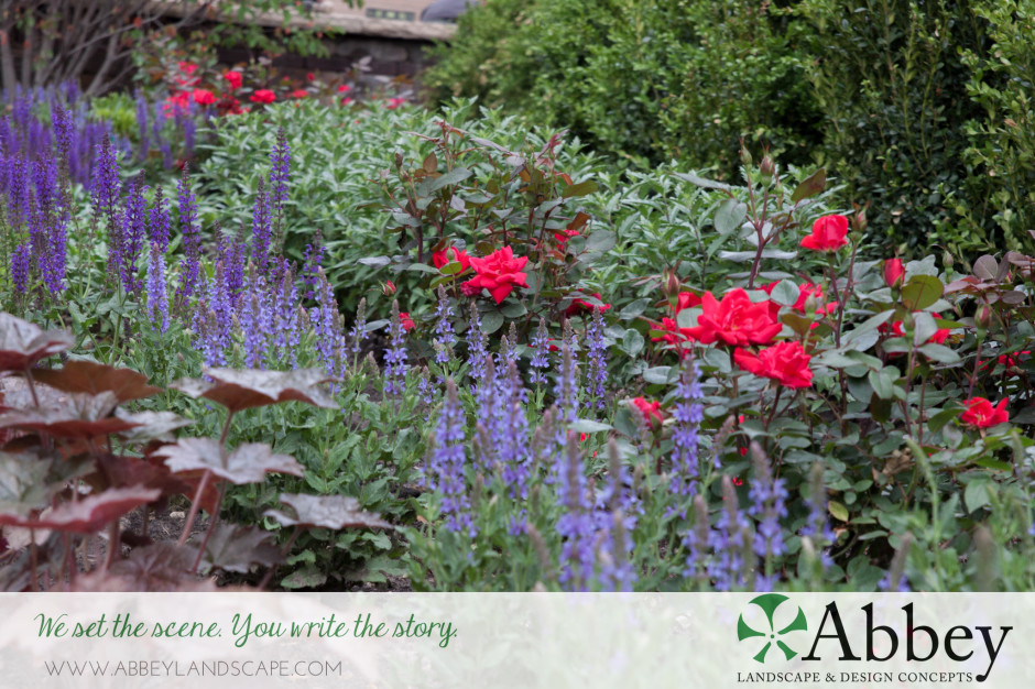 landscaping-purple-red-roses-salvia